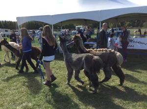 Abby walking Koko & Indeeya. (Yes, Koko is sporing a stegasaurus cut for the fair!)